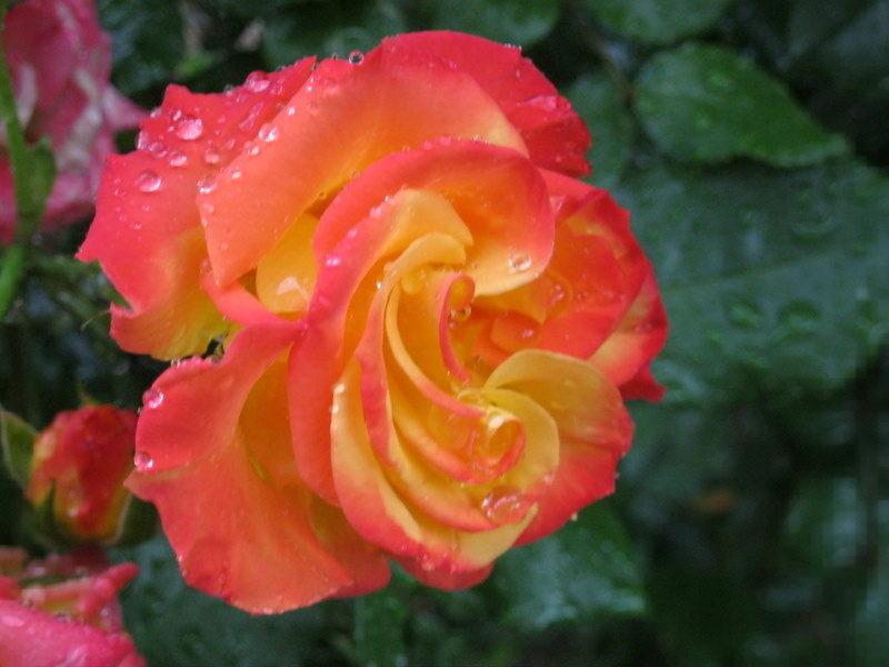 Ruža s kapima