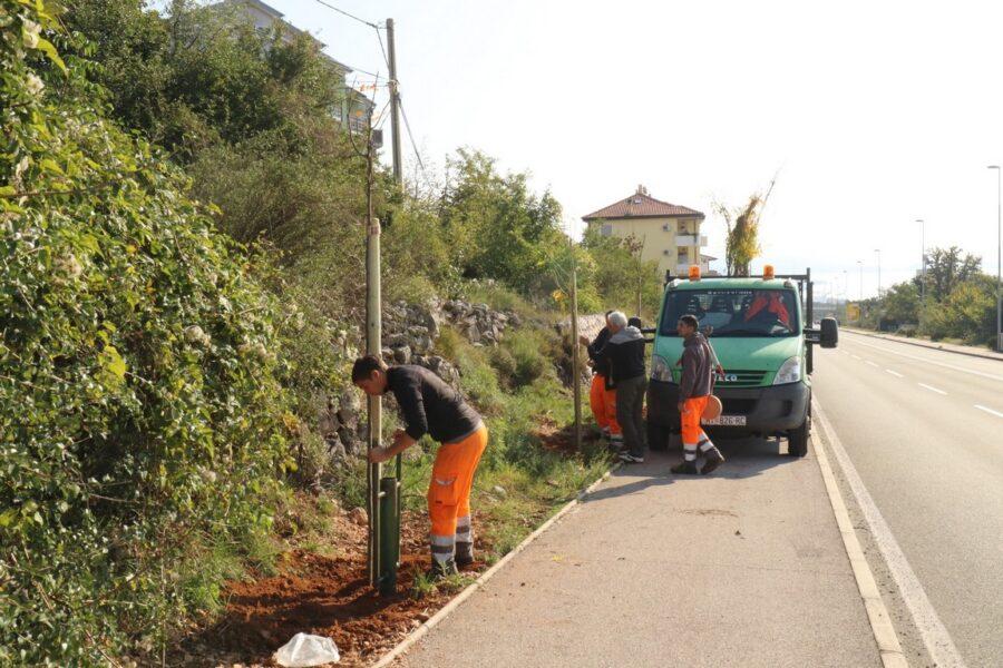Nastavak sadnje drvoreda na novoj cesti Hosti-Viškovo sadnicama Gleditsia-e