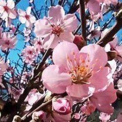 Voćka u cvatu